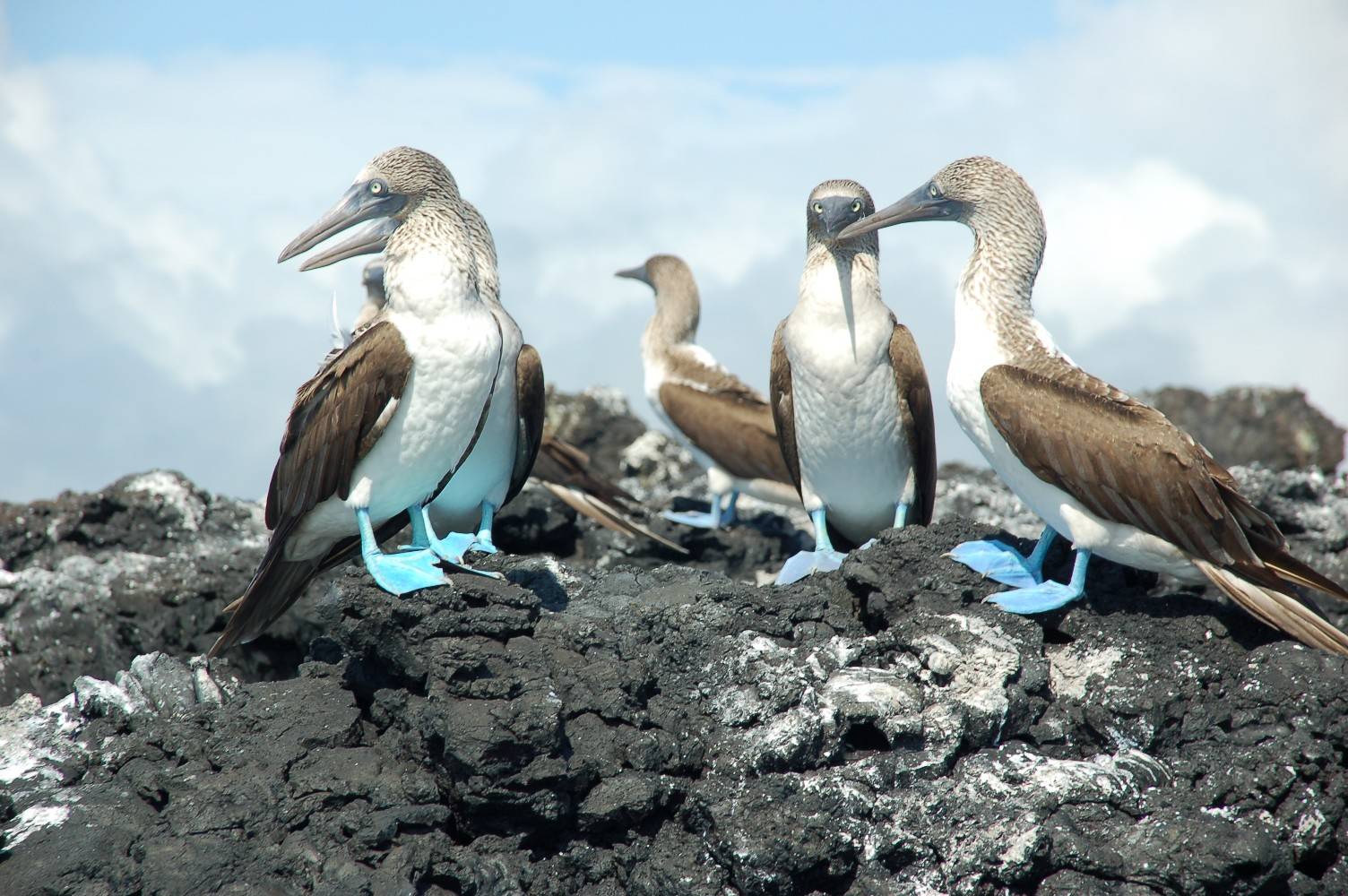 Blaufußtölpel-Galapagos