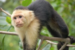 Kapuzineraffe- Costa Rica