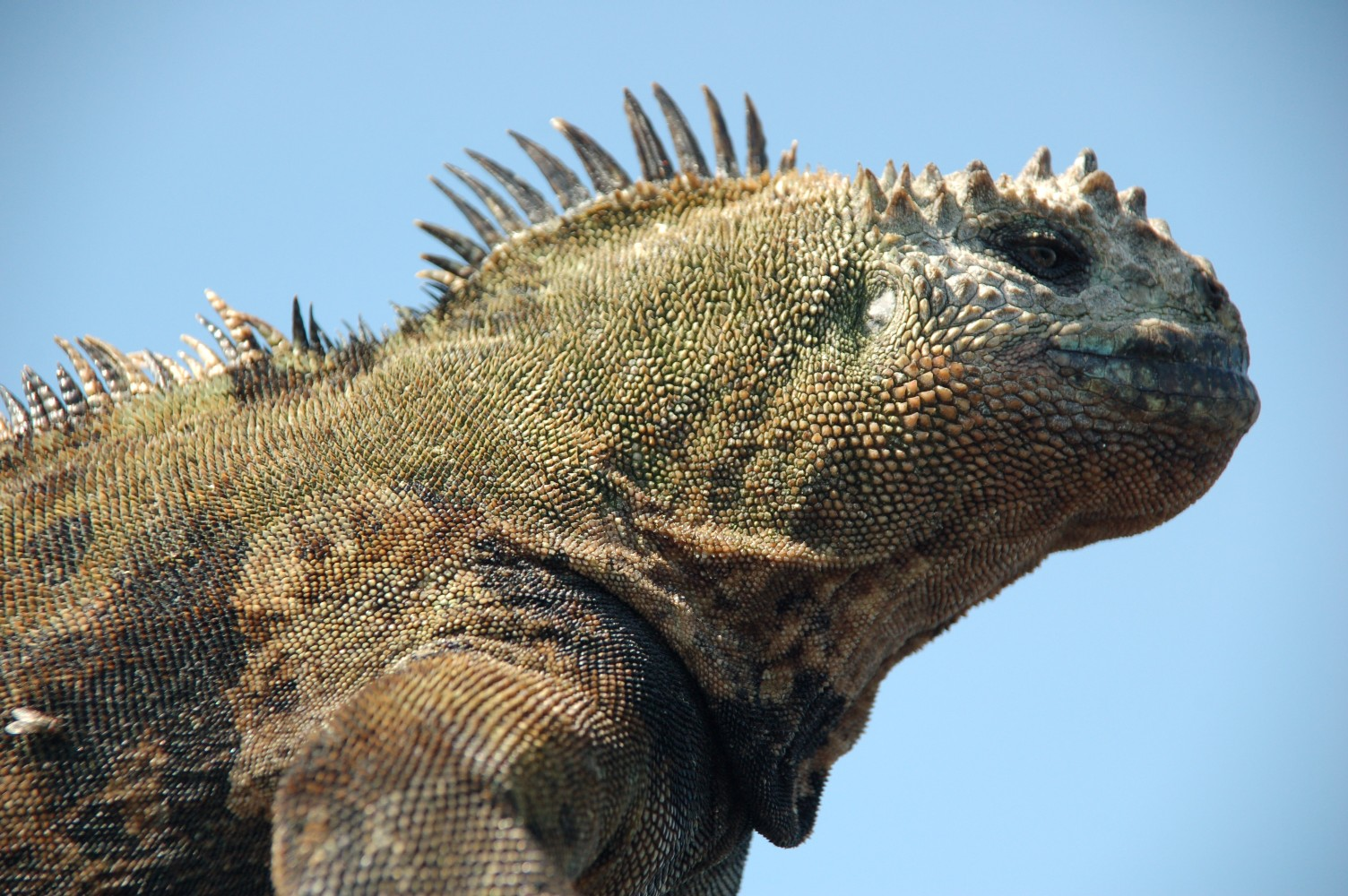 Leguan-Galapagos